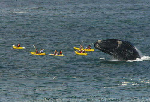things-to-do-whale-watching-kayak.jpg