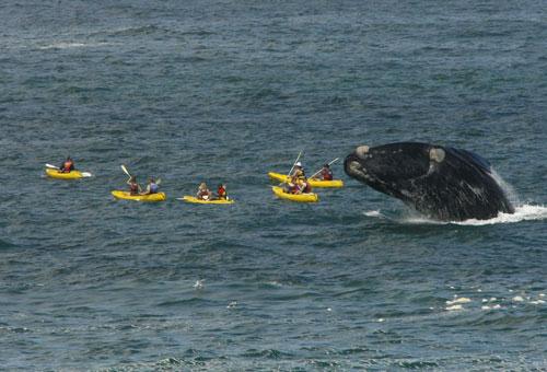 things-to-do-whale-watching-kayak.jpg
