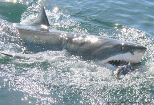 things-to-do-shark-watching-shark-01.jpg
